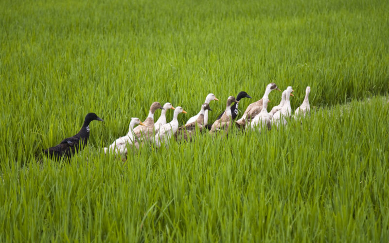 Farmers Forgo Pesticides, and Use Ducks to Grow Crops